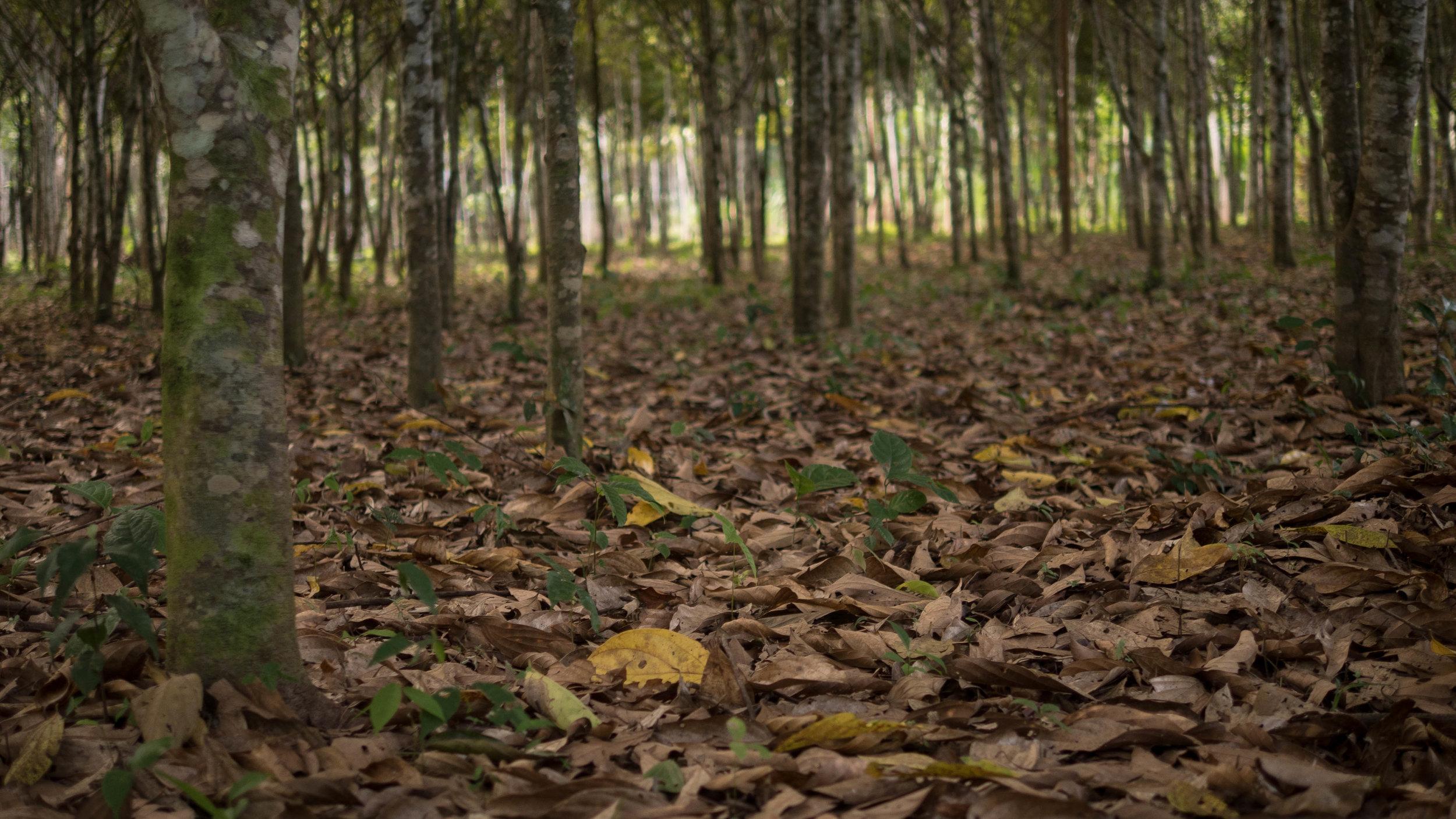 El Moenal - the Moena Alcanfor reforestation area