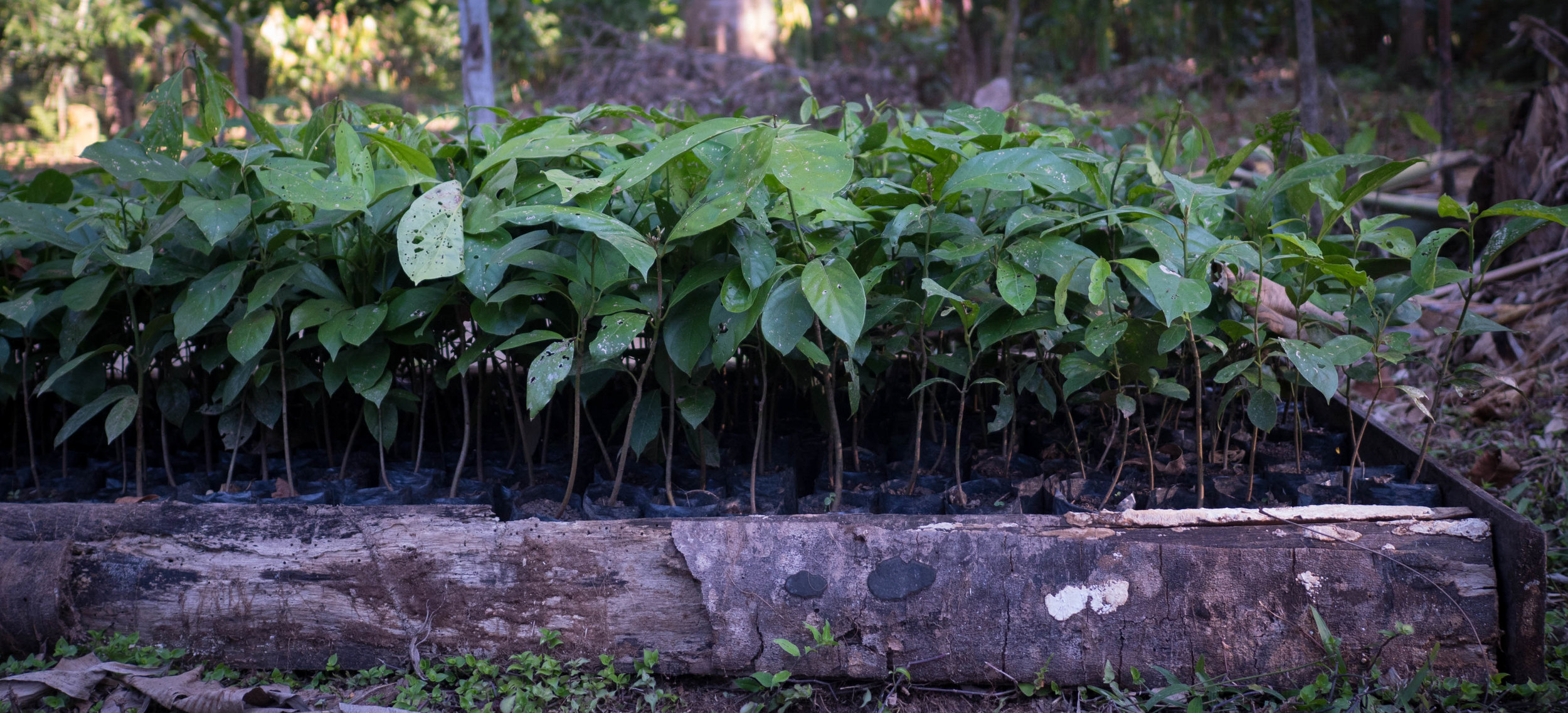 Moena Alcanfor seedlings ready to be planted out with our partner farmers in 2017