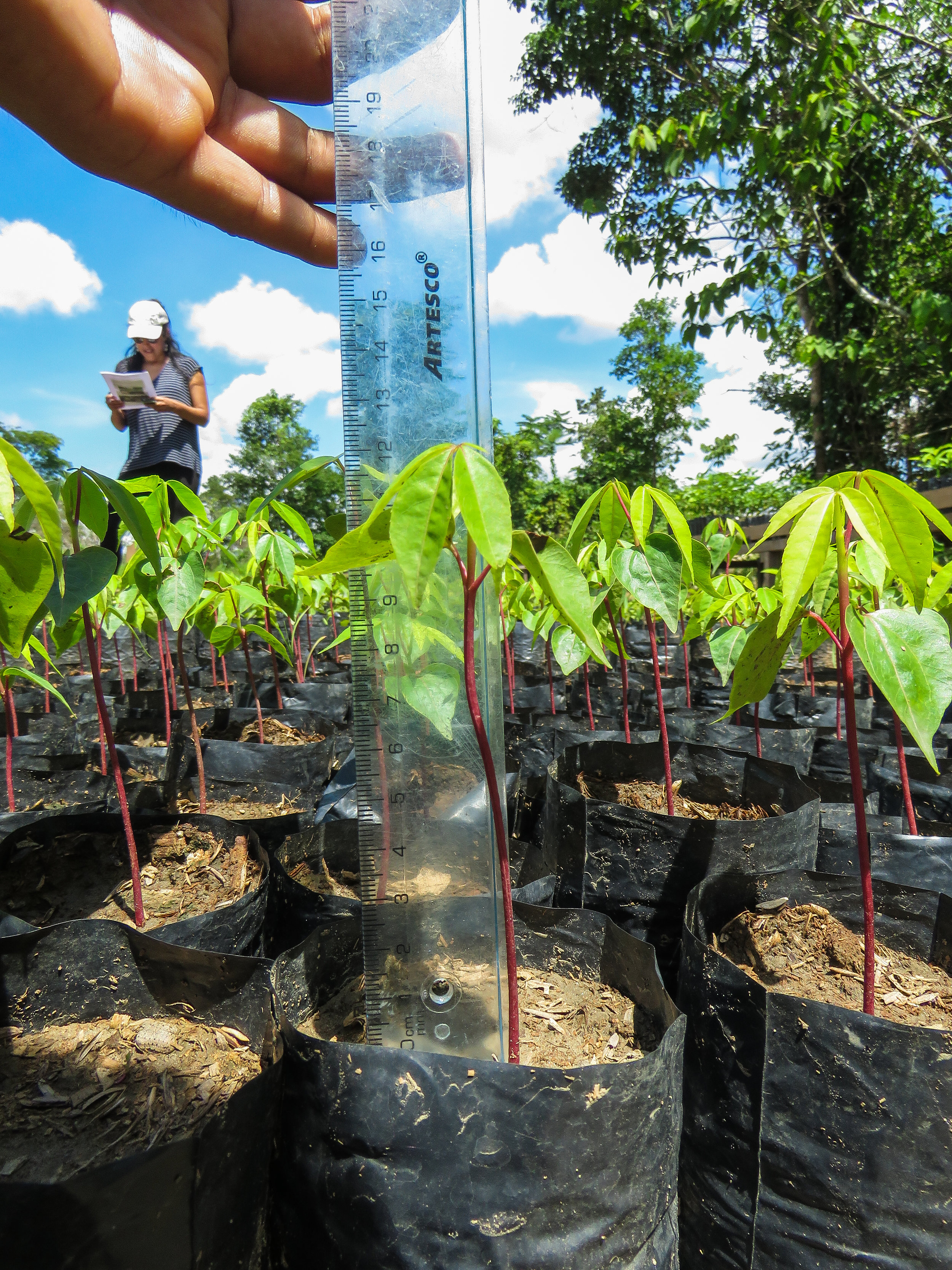 CINCIA researchers measure seedlings at La Joya.