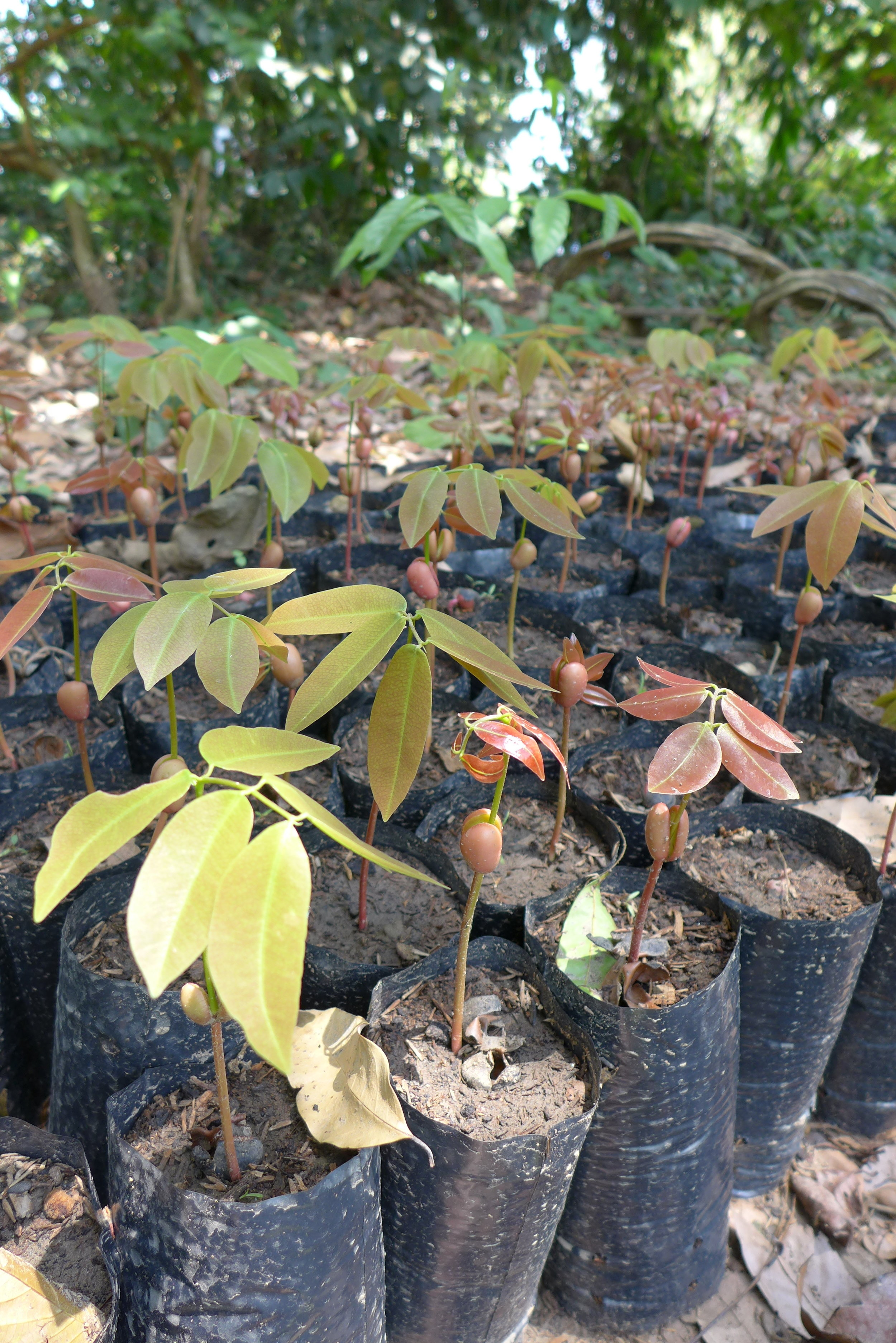 Copaifera sp. seedlings enriched with biochar.