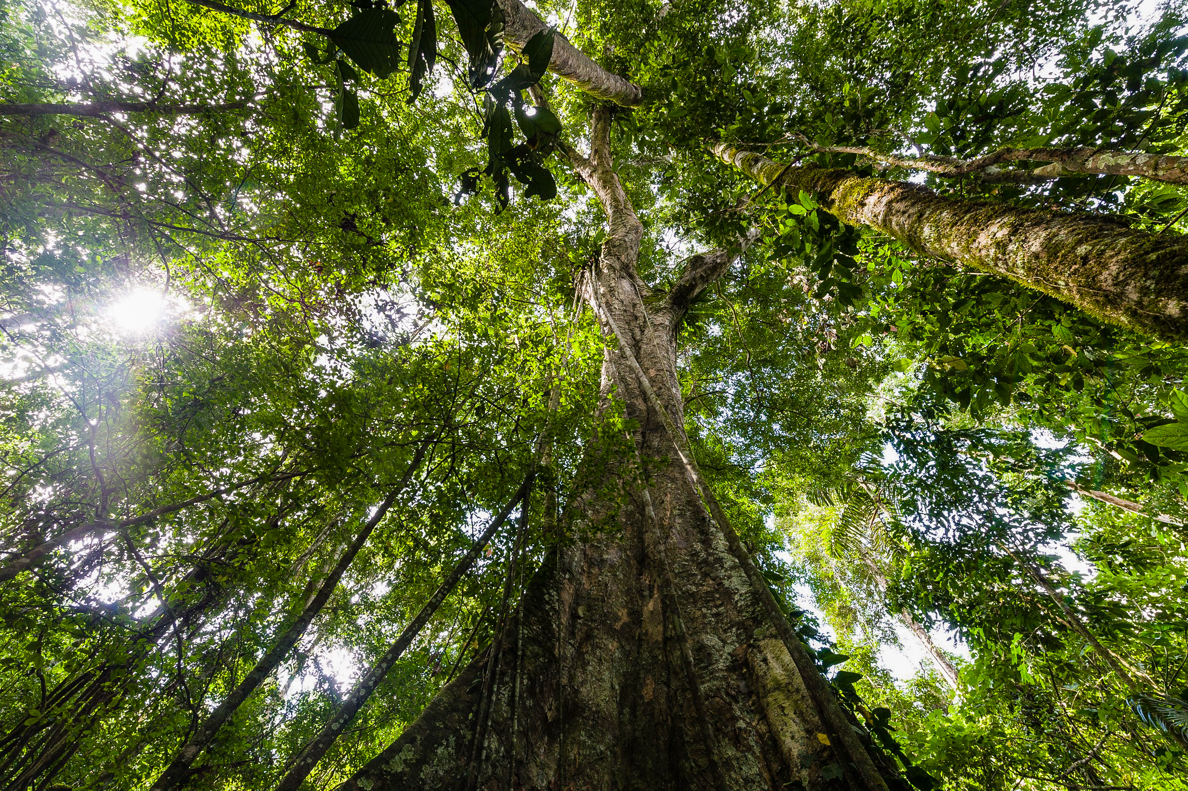 The value of native trees is well known to the extractivist economy, but overlooked and little understood in a context of silviculture (reforestation). Photo thanks to Jason Edwards / National Geographic.