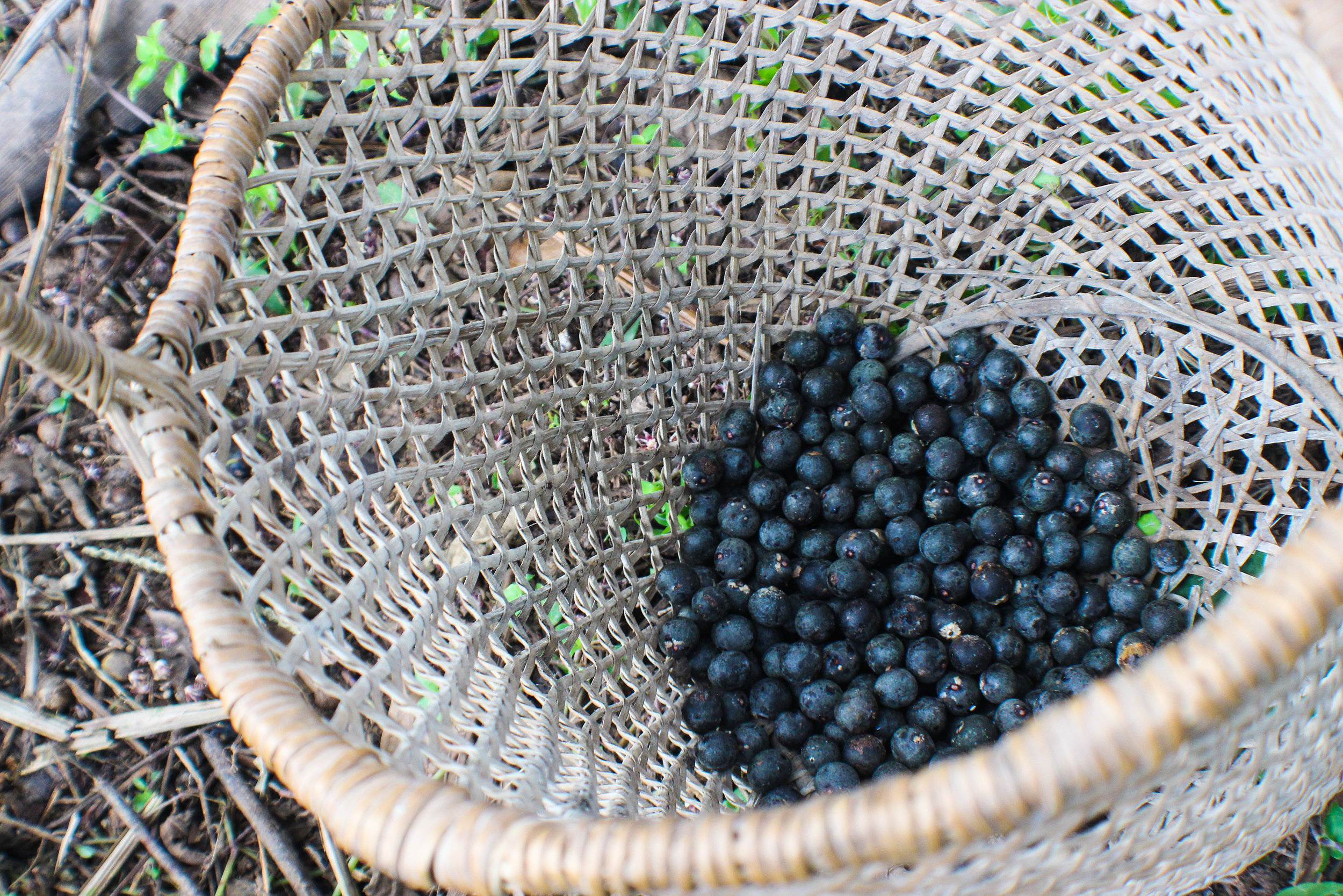 Açaí fruits ( Euterpe oleracea ) in a handwoven basket made from the aerial roots of an epiphyte.