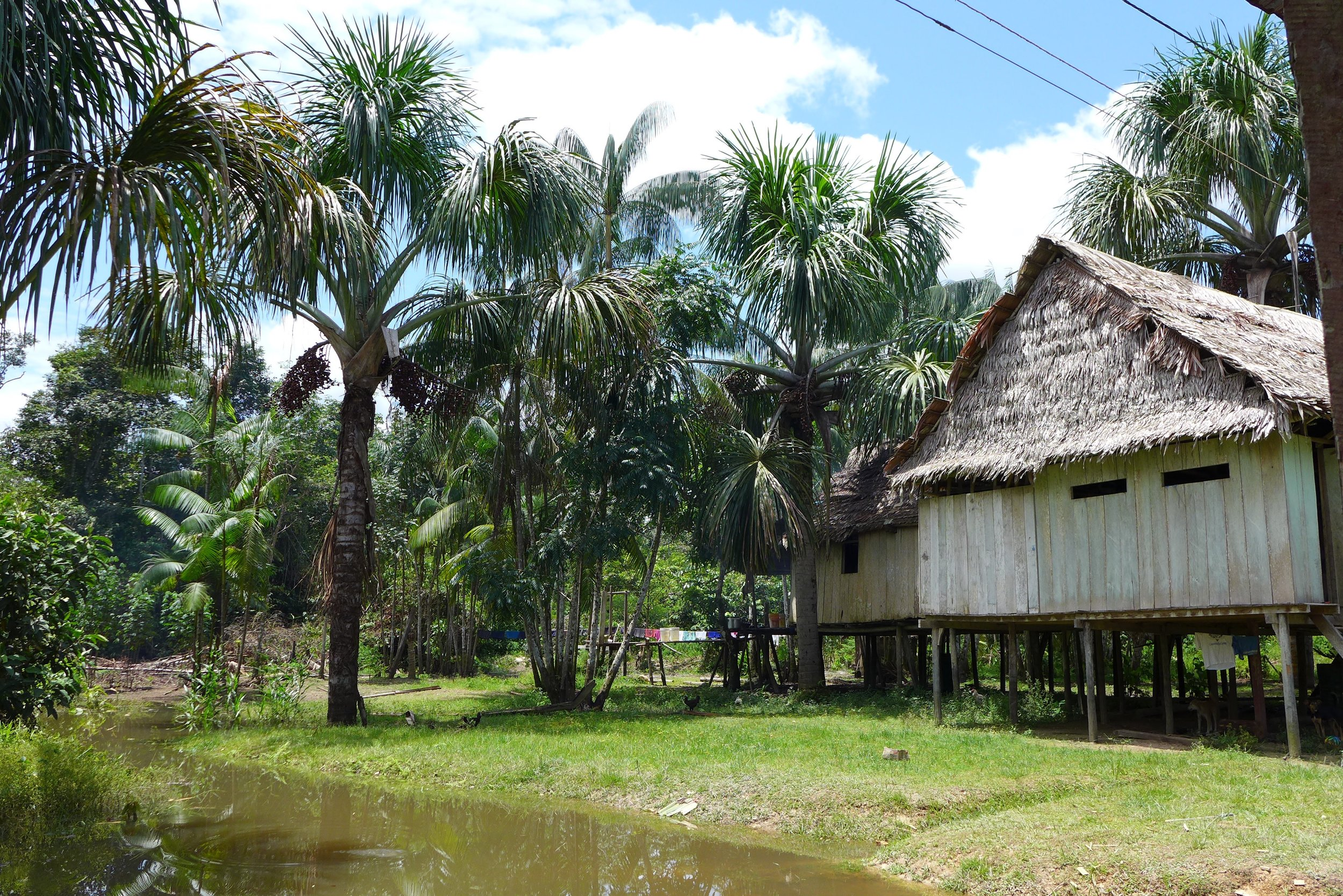 Aguaje and açaí palms are a common sight in home gardens in Amazonian communities.