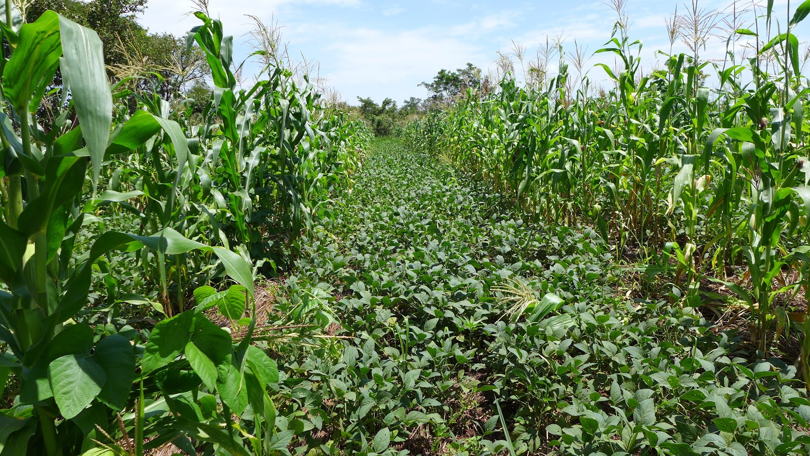 A cowpea and maize alley crop polyculture.