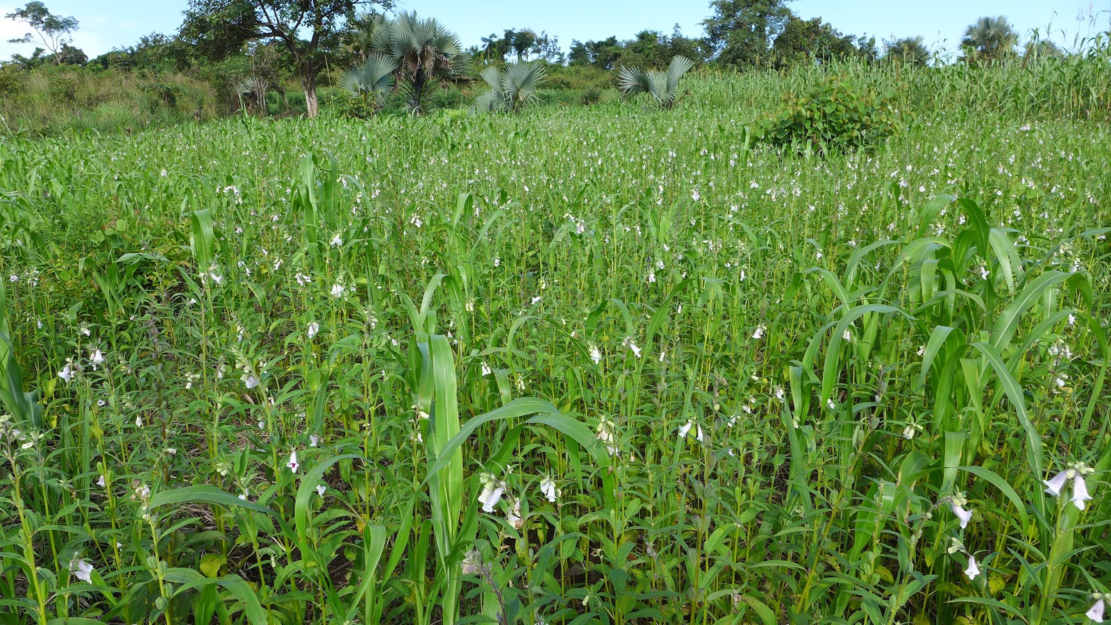 Sesame, maize, and sorghum with natural regeneration of native trees and  Borassus  palms.