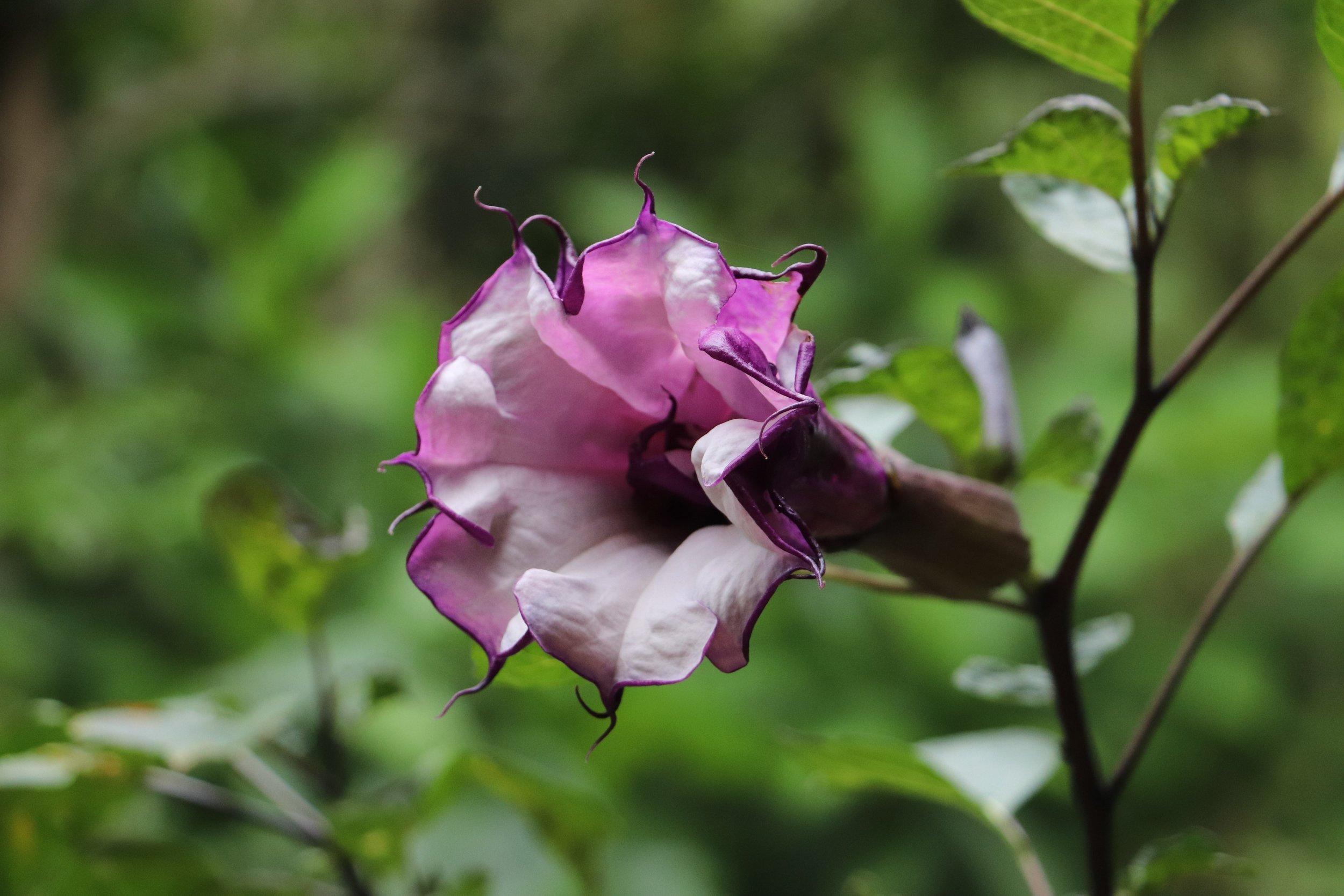 Toé negro  ( Datura  sp.)