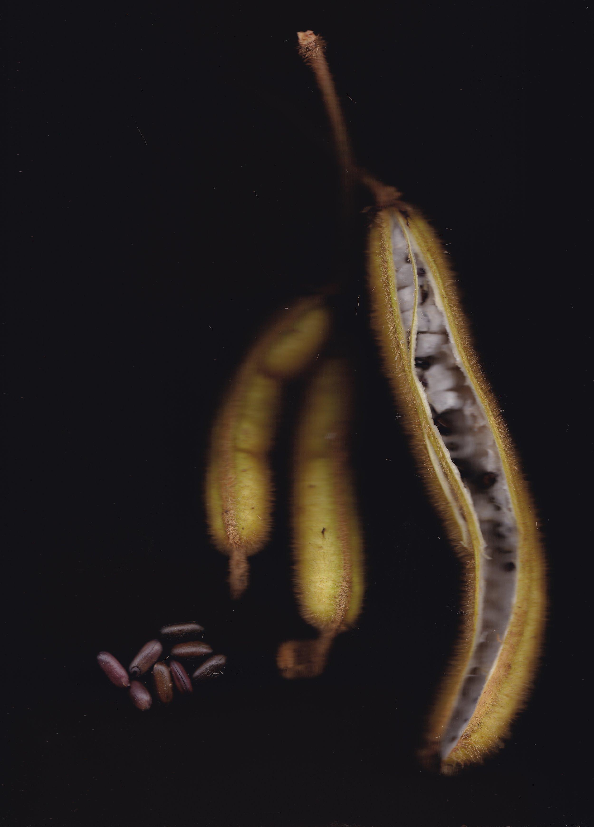 The delicious fruits of  Inga setosa , or Chimbillo Peludo.