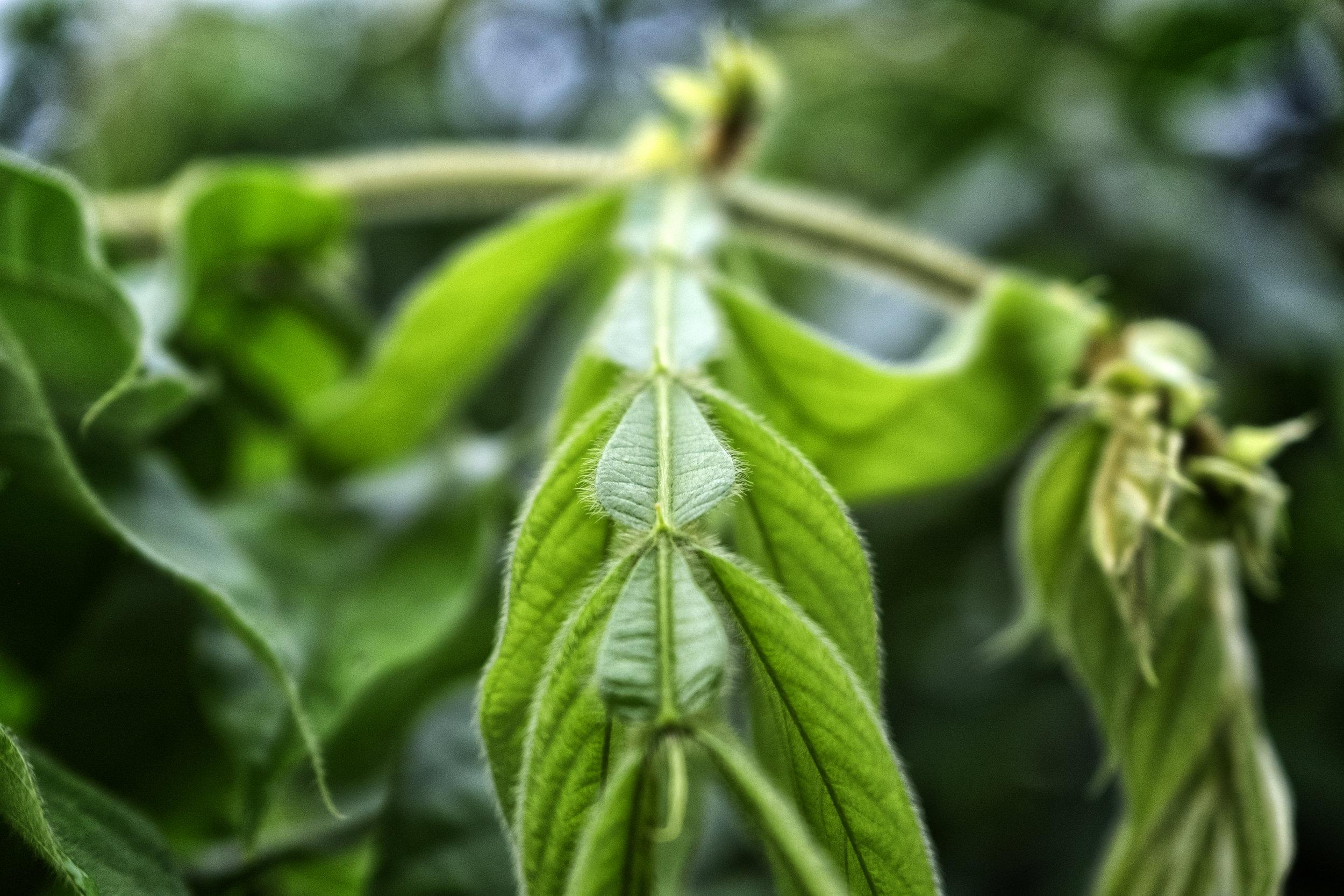 The felt-like leaves of  Inga setosa.