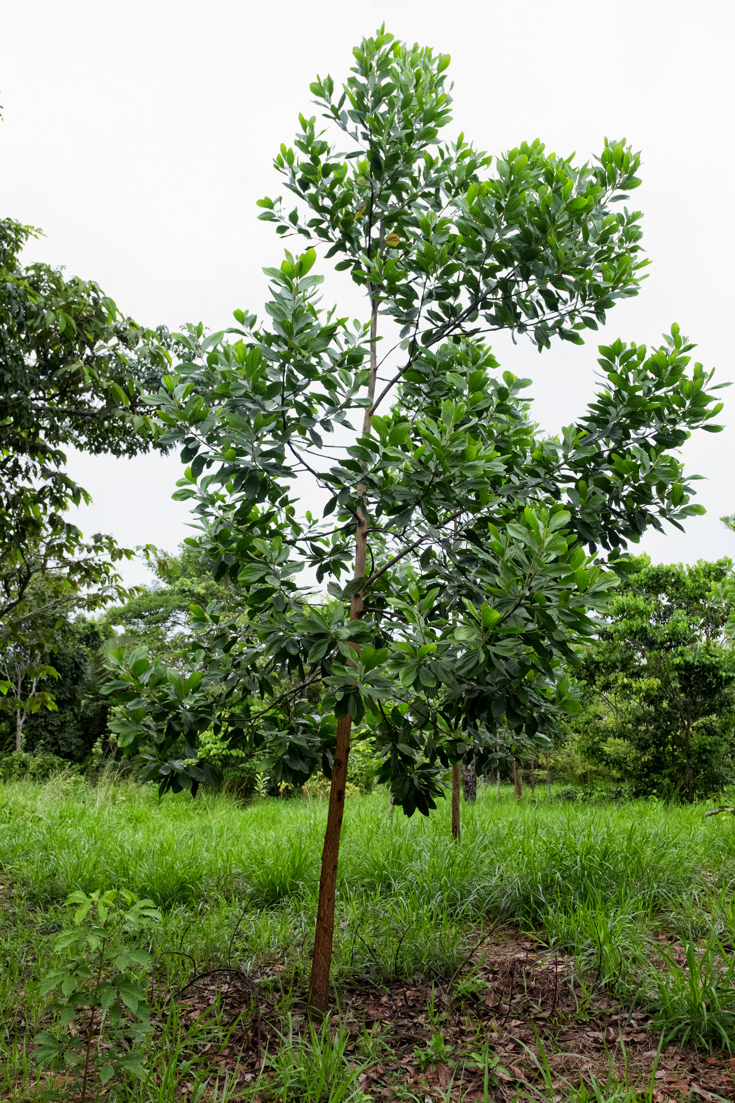 A 15-month old  Acacia mangium  at a CV agroforestry parcel. Its rate of growth on compacted soil degraded by cattle ranching is impressive.