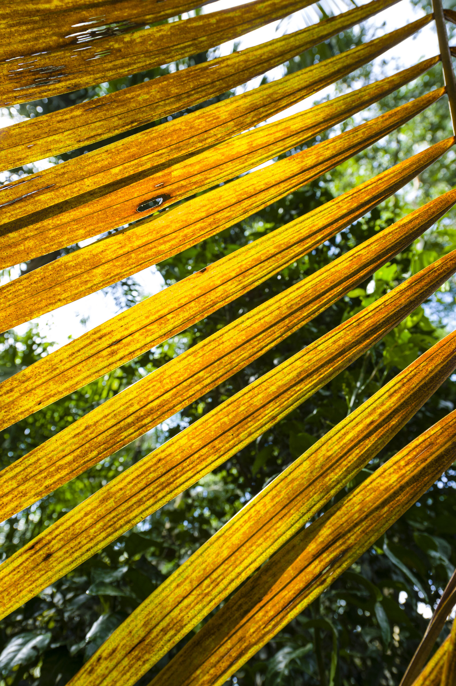 Palms are remarkably useful and productive. The leaves of several species of the Peruvian Amazon are dried for roof thatch. Photo by Jason Edwards / National Geographic at Camino Verde's reforestation center.