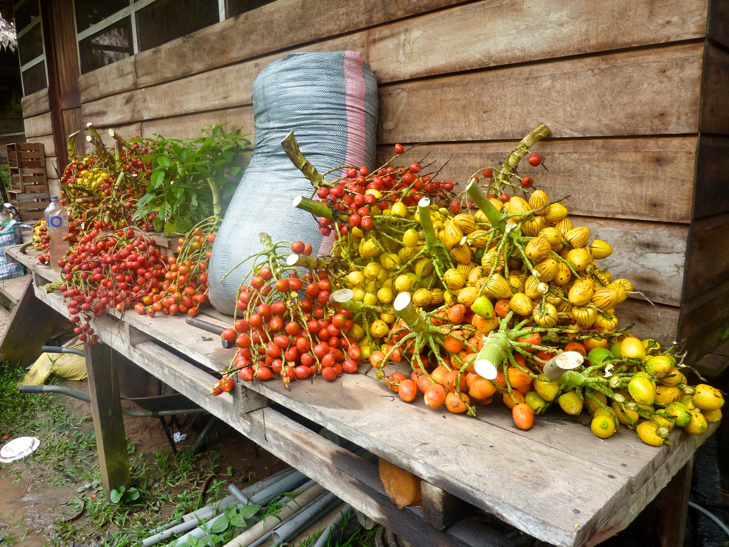 Pijuayo fruits come in various shapes, sizes, and colors. This is a typical weekly harvest at Camino Verde's reforestation center in Tambopata, Peru.