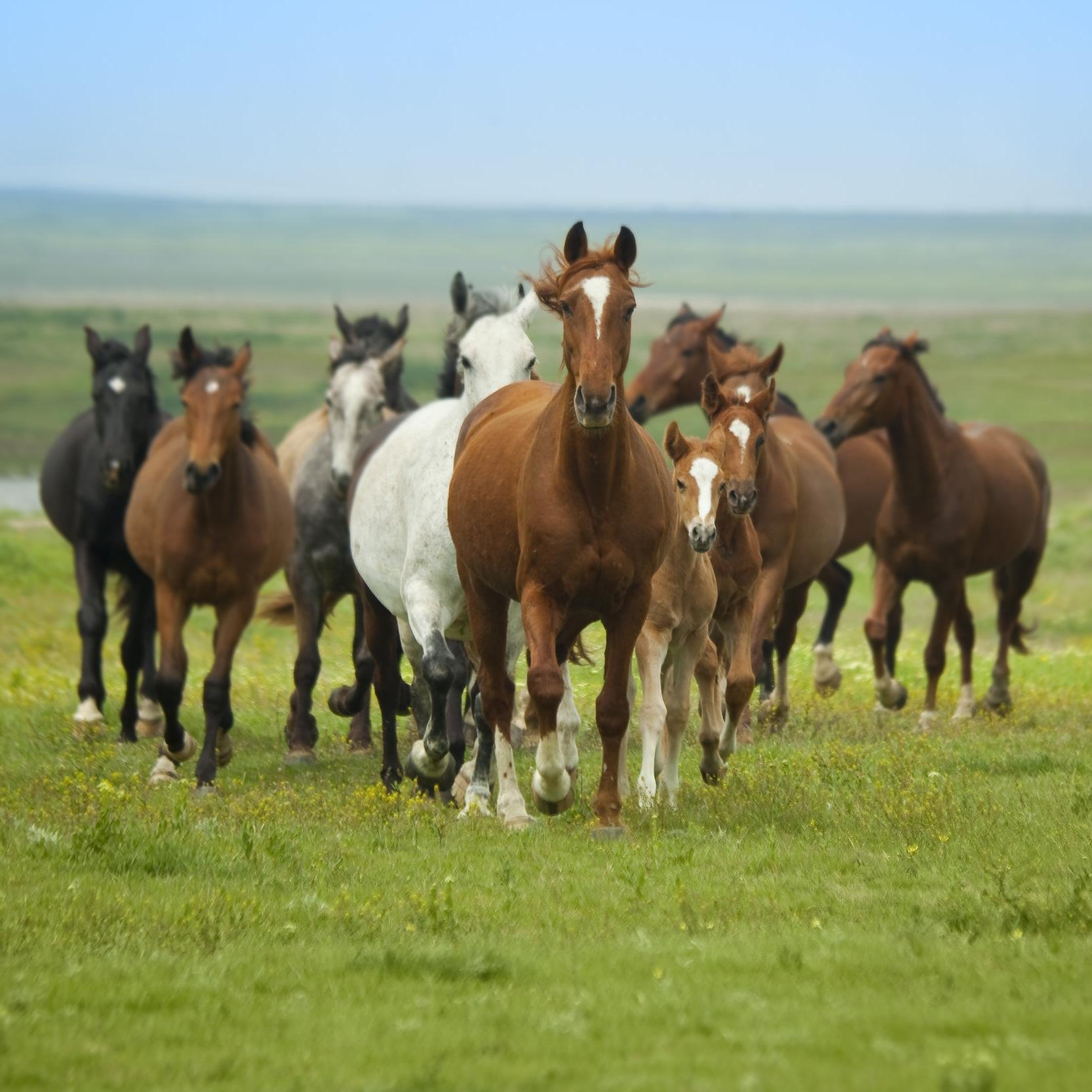 Running herd.jpg