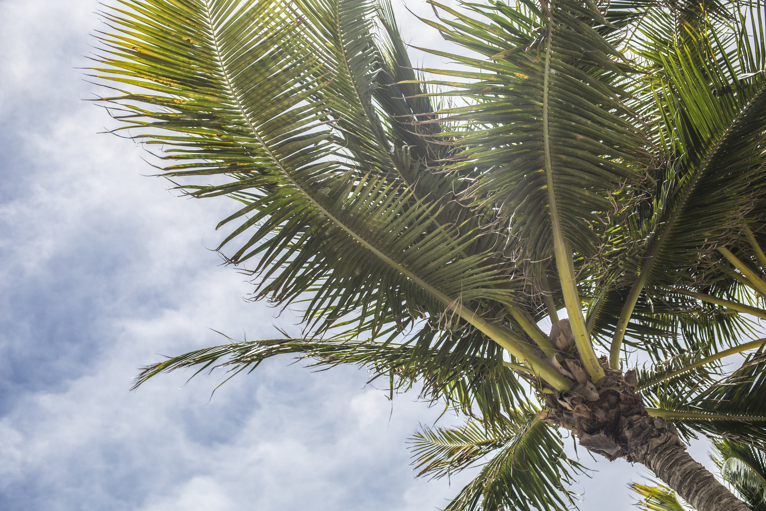 Palm Tree - Looking Up.jpeg