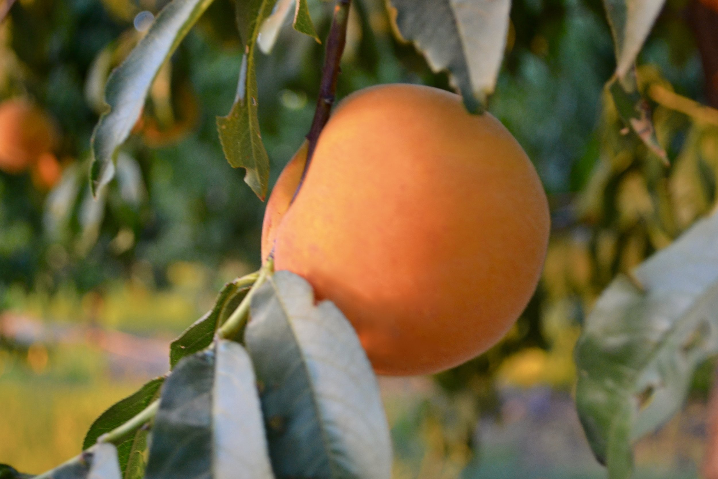 "P E A C H: The Watkins farm grows cling peaches. Cling peaches were named because characteristics of the fruit cause the flesh to stick to or ""cling"" the stone. Cling peaches are used for canning because they are firmer compared to freestones which are sold as a fresh market product."