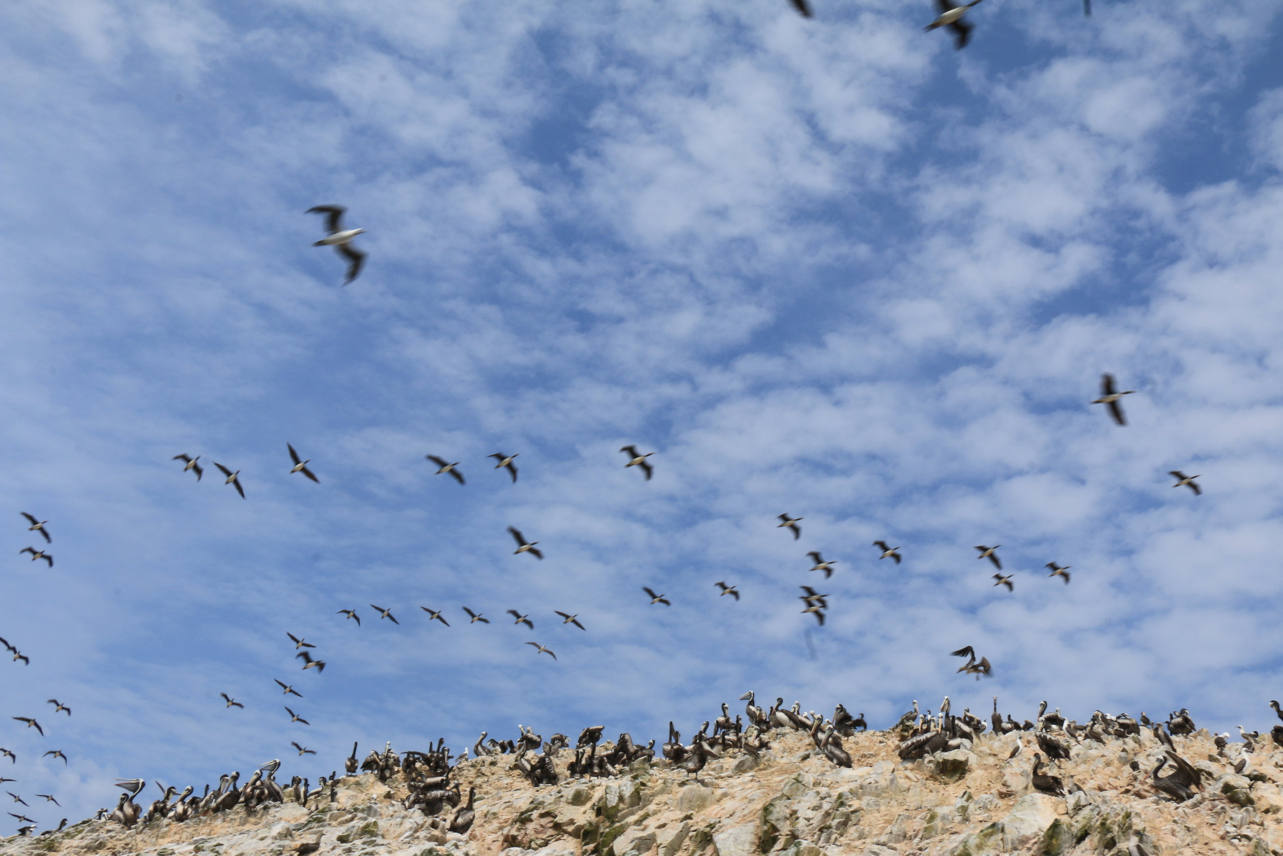 1.28 - WS, Paracas, Birds.jpeg