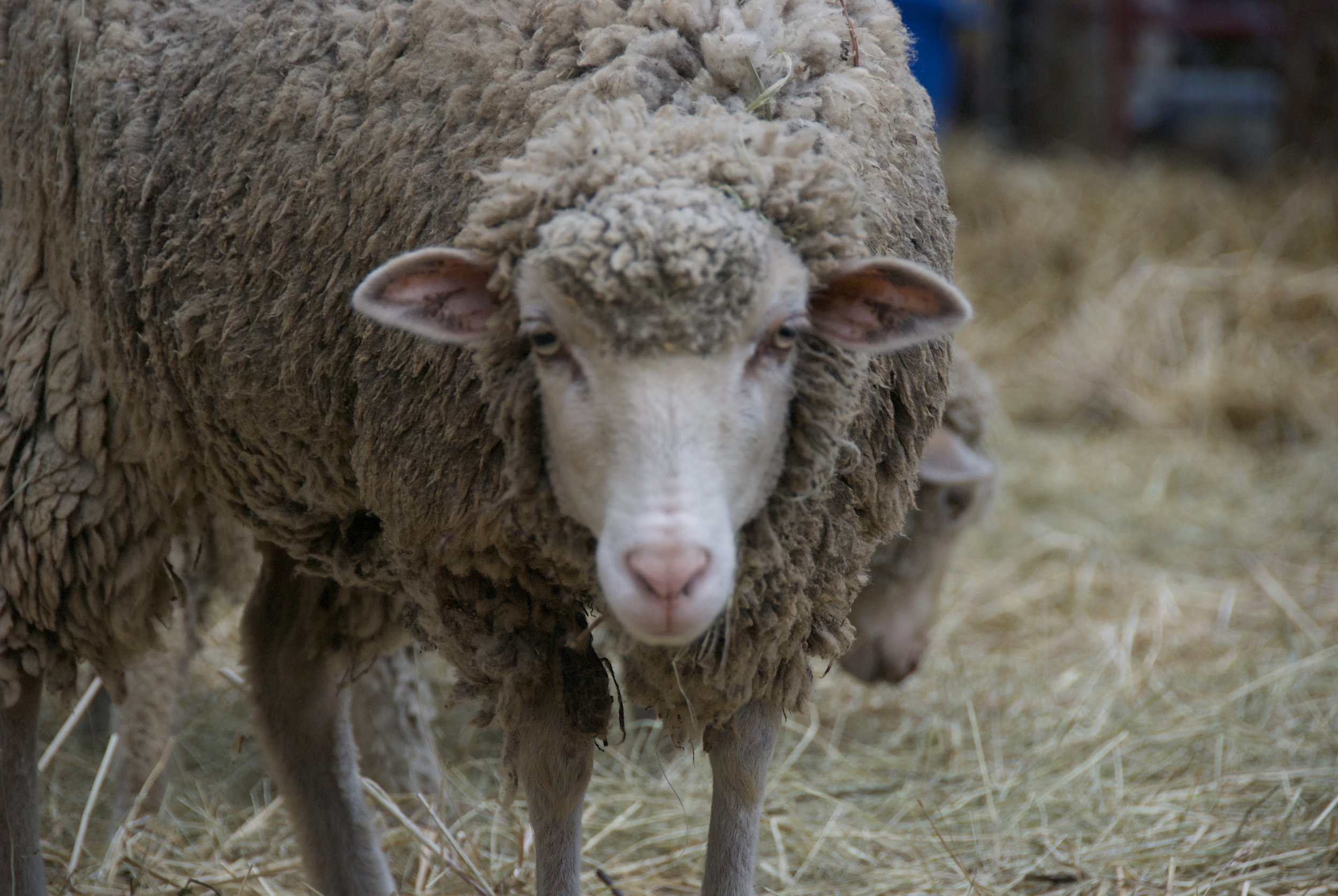 Sponser a Sheep