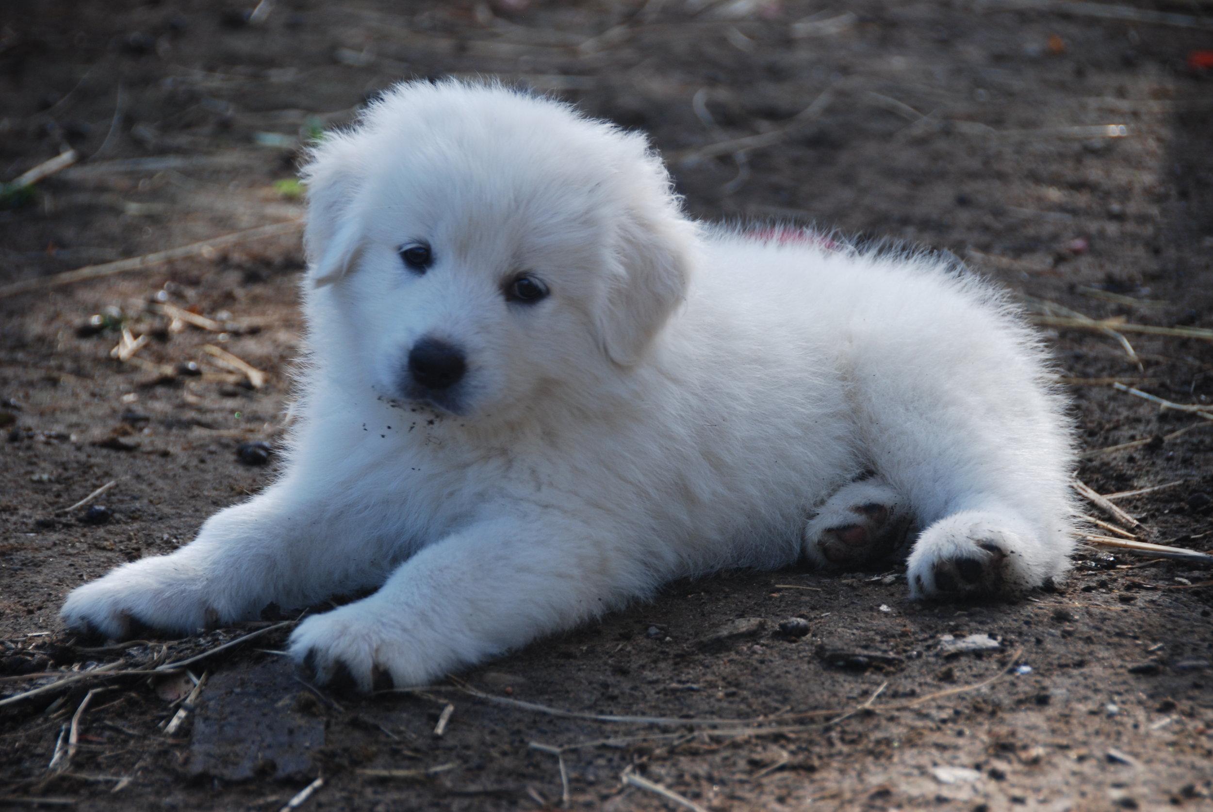 Maremma Puppies for sale