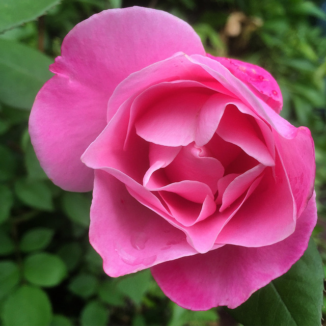 What makes a  Rose  perfect? 14 May 2015 Last Ravenwolf Rose Bush copyright~ LGHurcomb