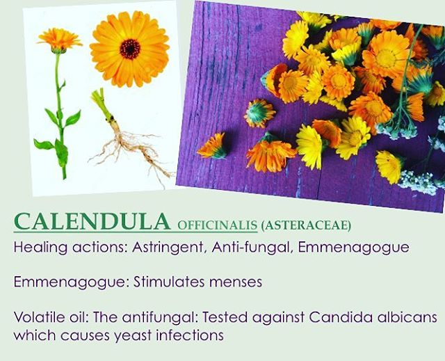 Marigold is one of my favorite herbal allies #botanyissexy #herbalsupport #microbiome #goodbyecandida #selfcare #knowledgeispower #calendula