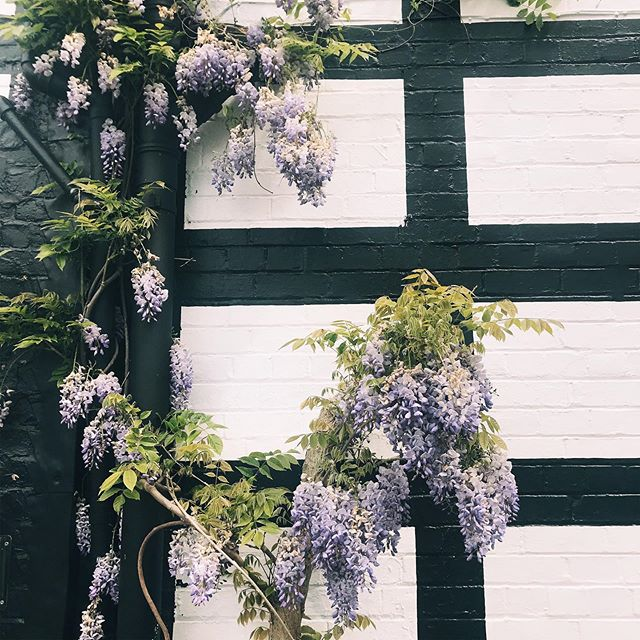 Wisteria.... hysteria! #wisteriahysteria #gatheringgorgeousness #firaintravels