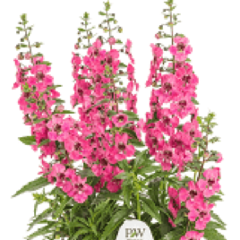 ANGELONIA A.F. Perfectly Pink
