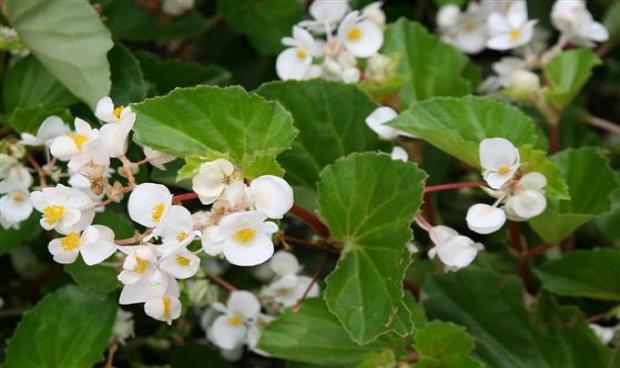 Begonia  BabyWing™ White