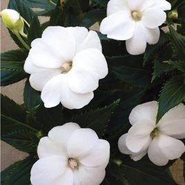 Impatiens SunPatiens®  Compact White
