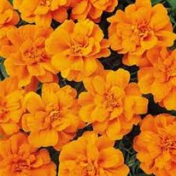 Marigold  Durango® Tangerine