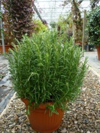 Rosemary, Common