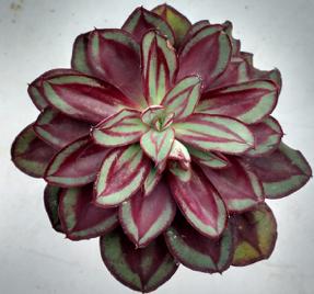 Echeveria, nodulosa