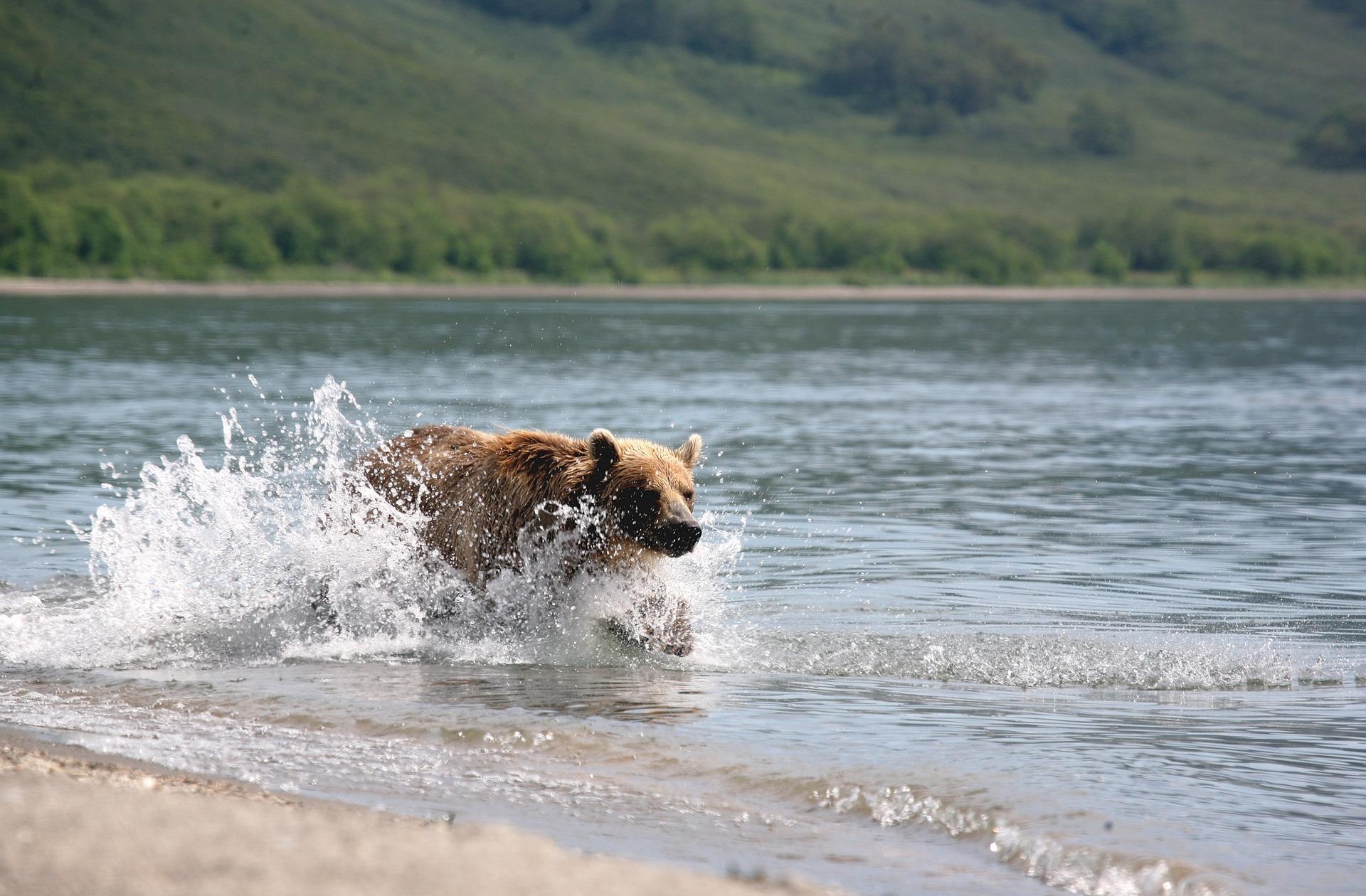 This is a picture of a bear in a lake. It's not Bear Lake, but it's close enough. Courtesy of pixabay.com