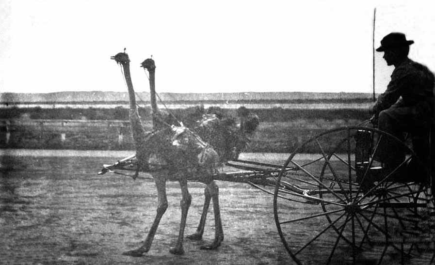 """""""The ostrich races yesterday at Coronado track were witnessed by quite a crowd. Napoleon, the famous sprinter, drew a buggy weighing 280 pounds and a man weighing 137 pounds, but in spite of the handicap made a half-mile in a few seconds over two minutes. He was paced by a man on a bicycle. The sight was a novel one.""""    --San Diego Union, May 25, 1896."""