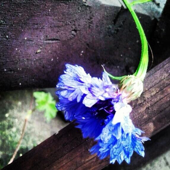 cornflower style icon uniqueness Stil Ikone Kornblume blue blau