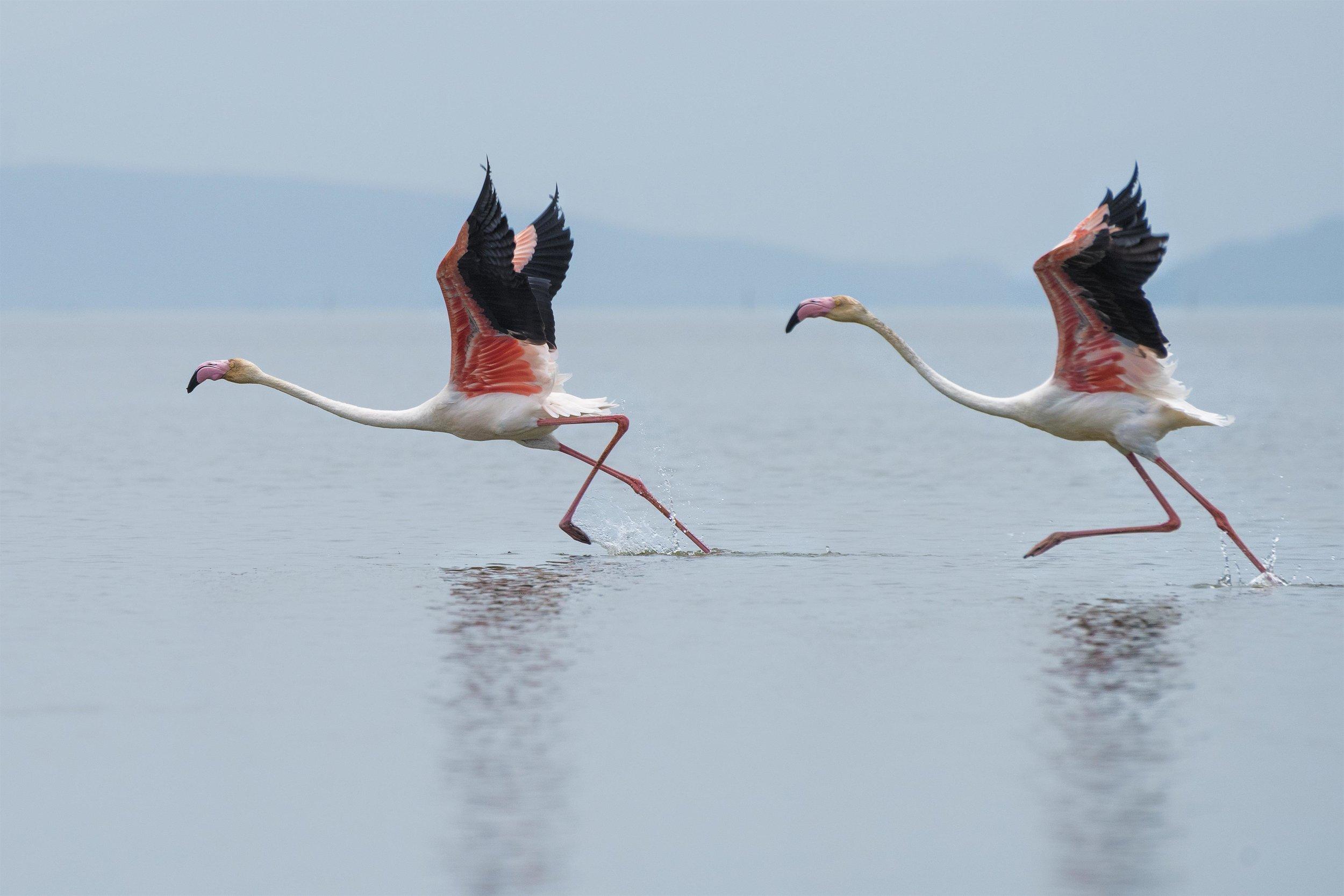 flamingo-birds-Vögel-delegate-starting-beginnen-water