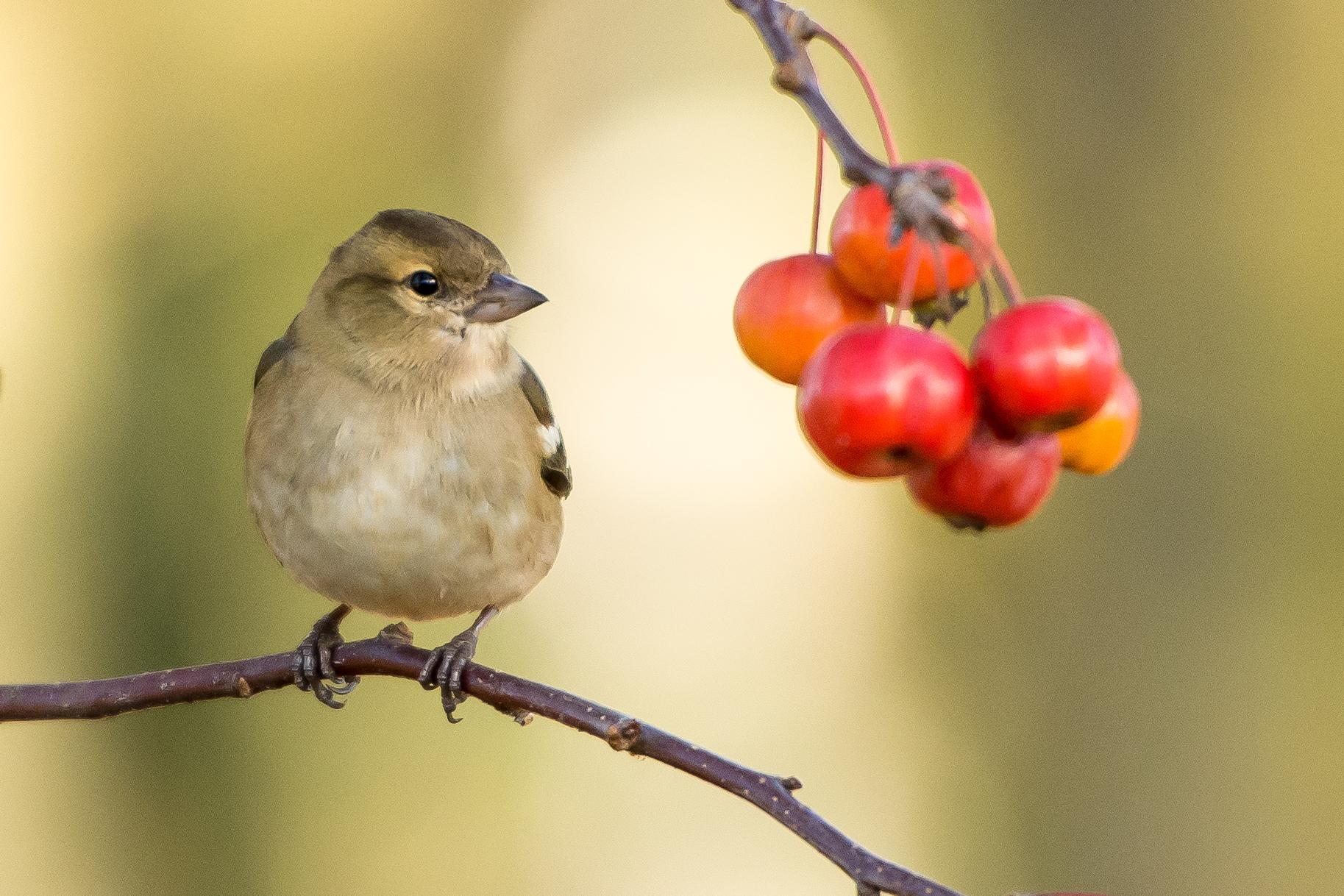 bird-Vogel-Natur-Beeren-nature-berries