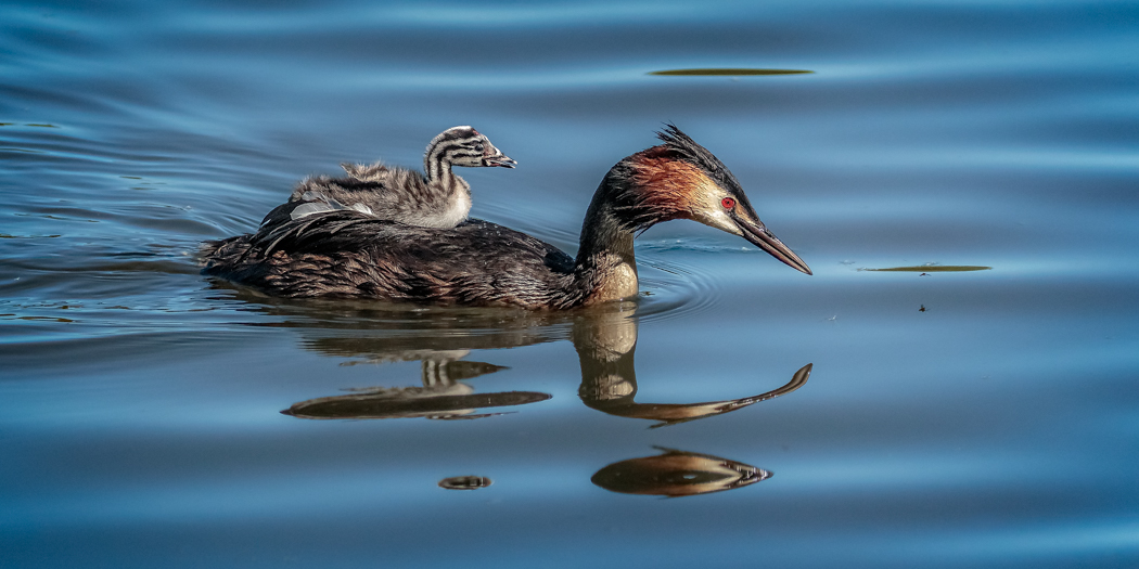 Grebe and chick - ALAN BASTIN.jpg