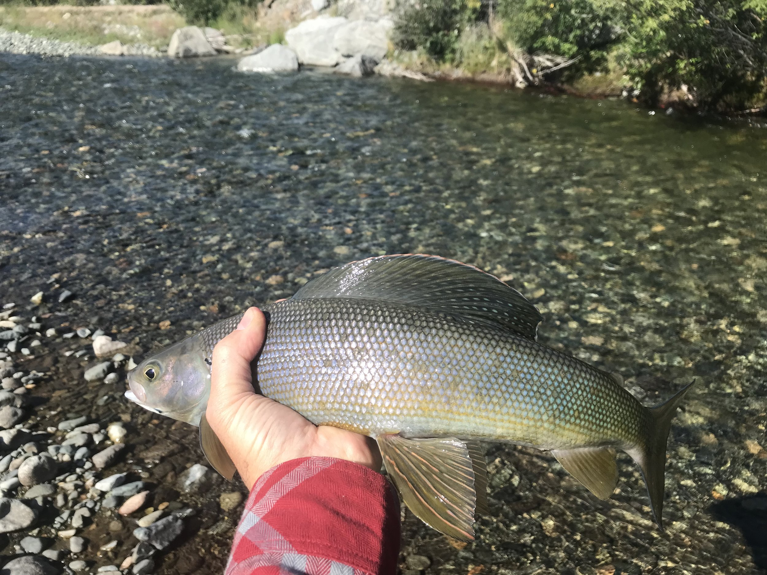 Nice grayling caught on Edith Creek near the YT/Alaska border.