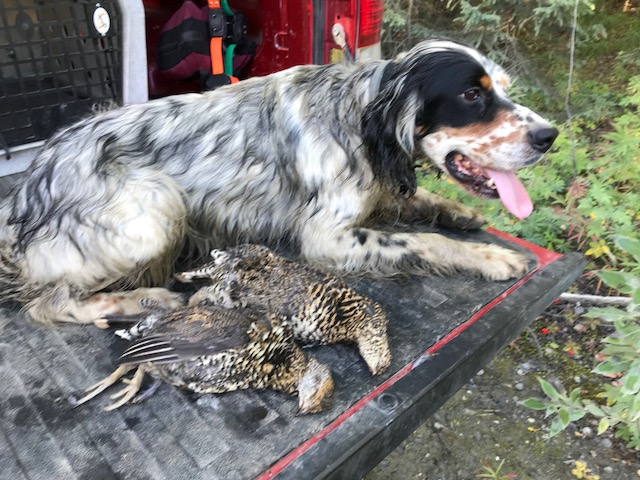 Timber with a couple of well-earned Spruce Grouse. A first for us both!