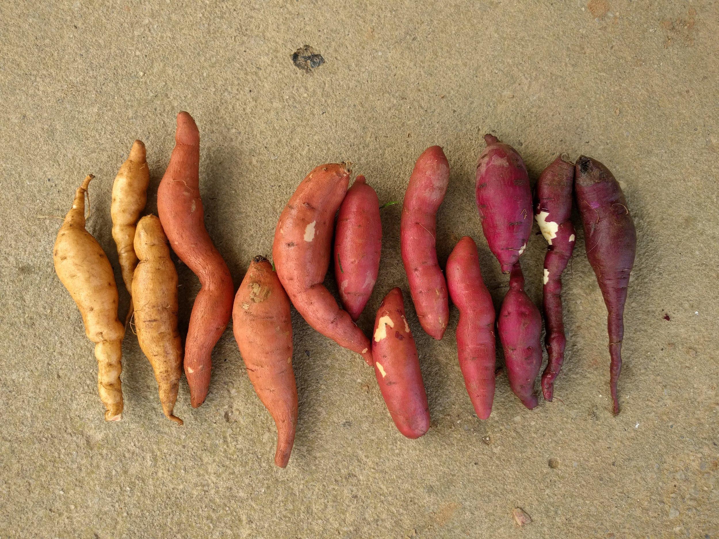 Fingerling sweet potatoes. Longest tuber pictured is about 5 inches.   Left to right: White Hamon, All-gold, Hernandez, Covington, Beauregard, Murasaki, Adirondack blue.
