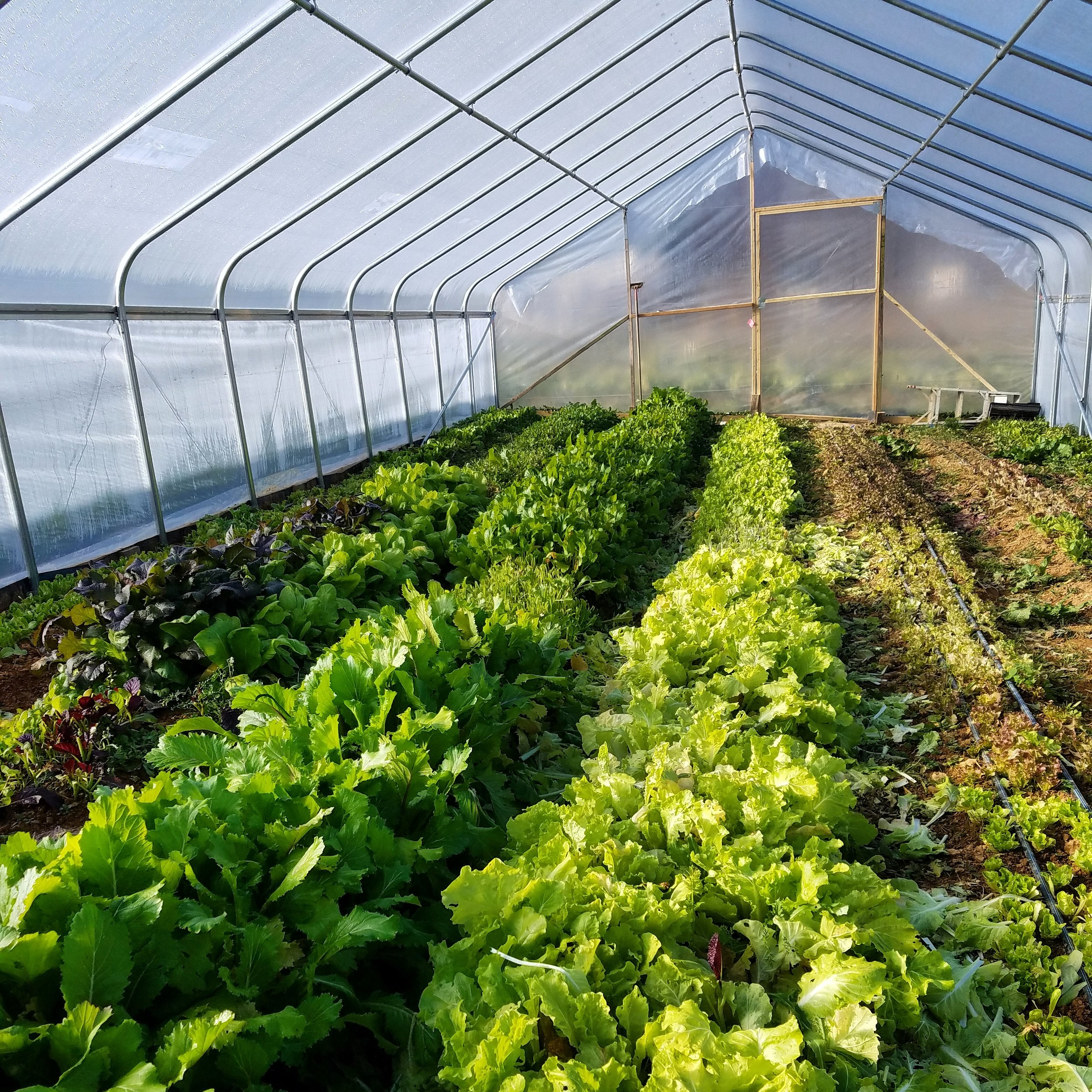One of our high tunnels full of salad greens!
