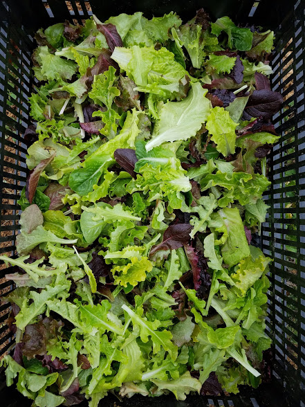 Sign up to get more salad in your summer CSA!