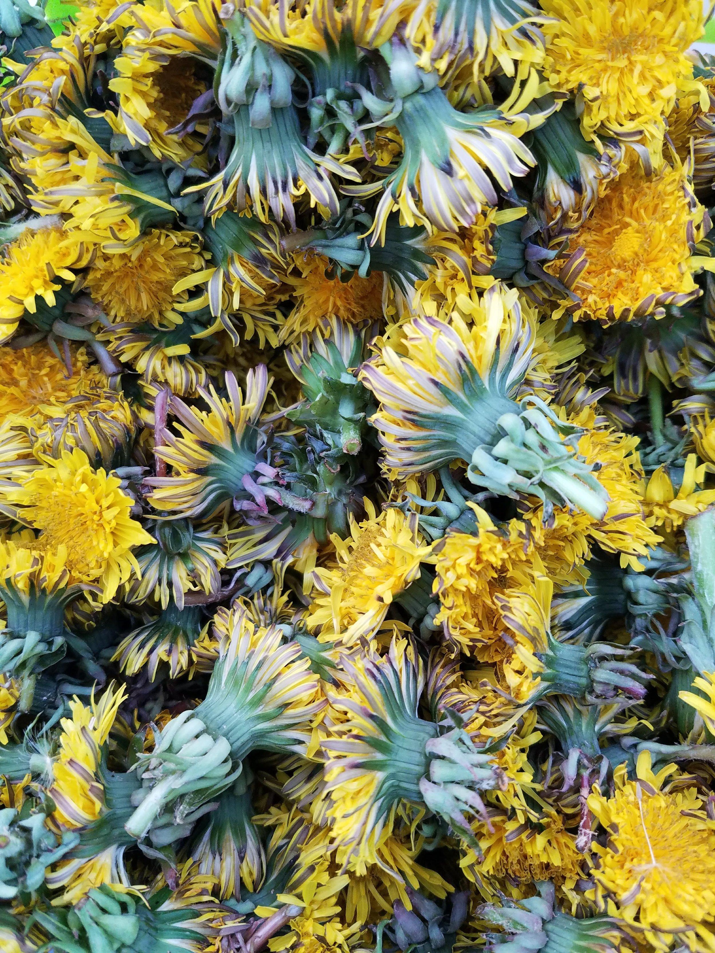 Another spring crop - dandelions!