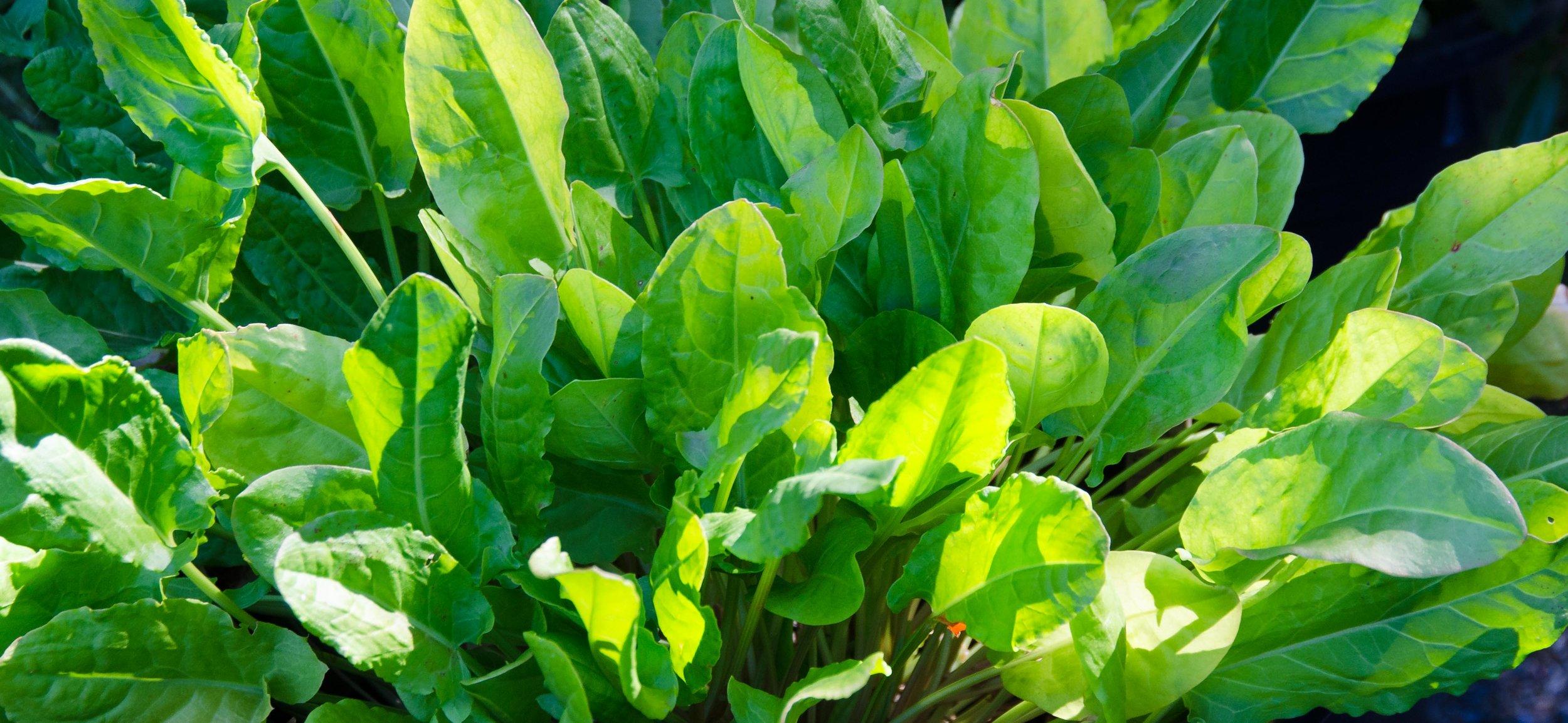 Organic-French-Sorrel-at-Blue-Egg-Farm-in-Orinda-5617.jpg