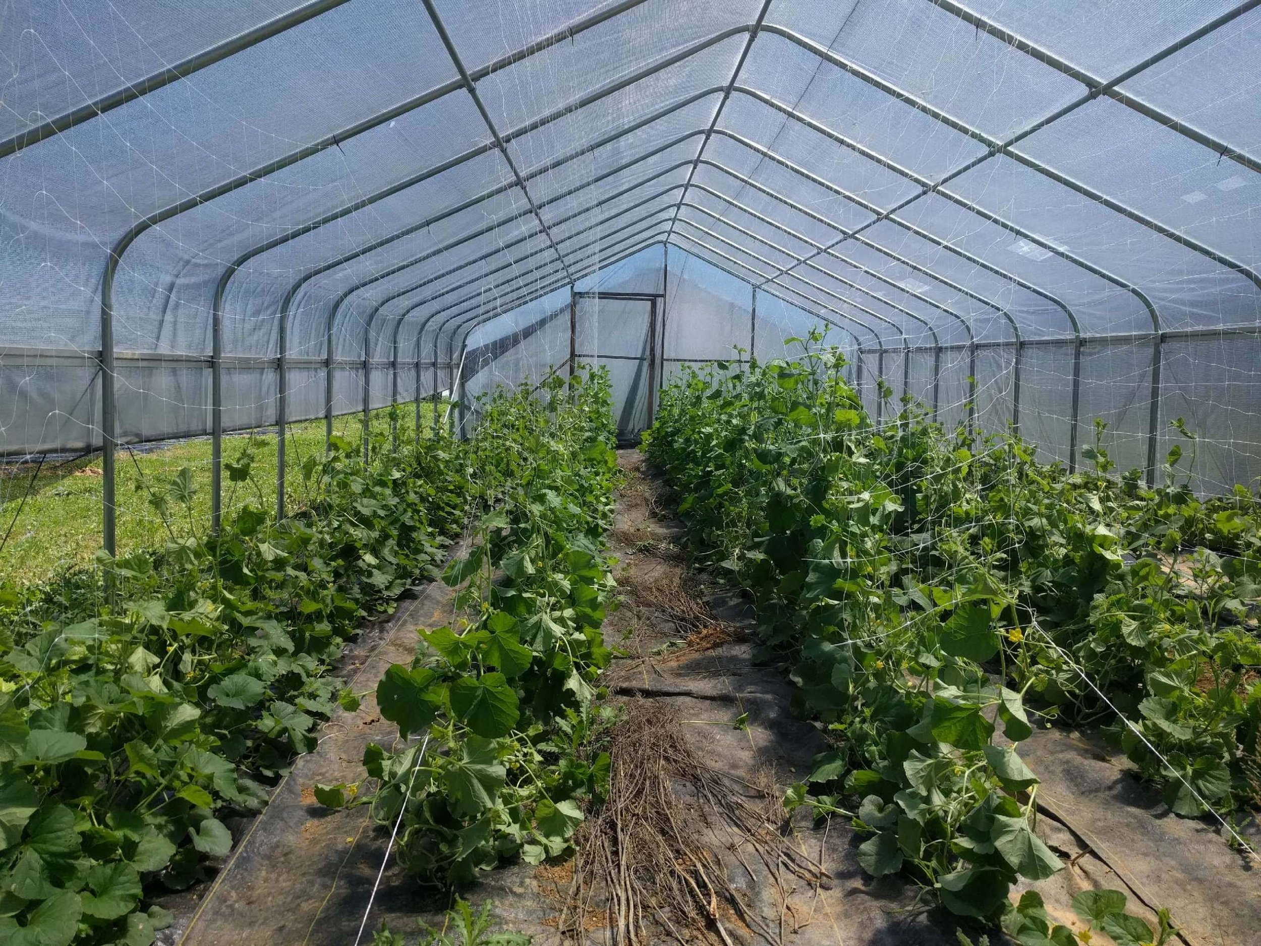 Melons in the high tunnel are coming along!