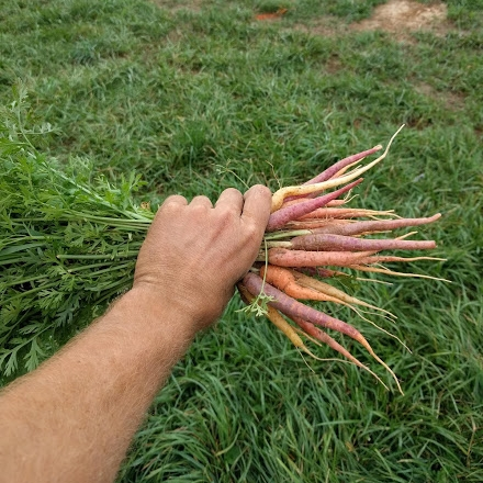 Rainbow carrots are a feast for the eyes and taste-buds.