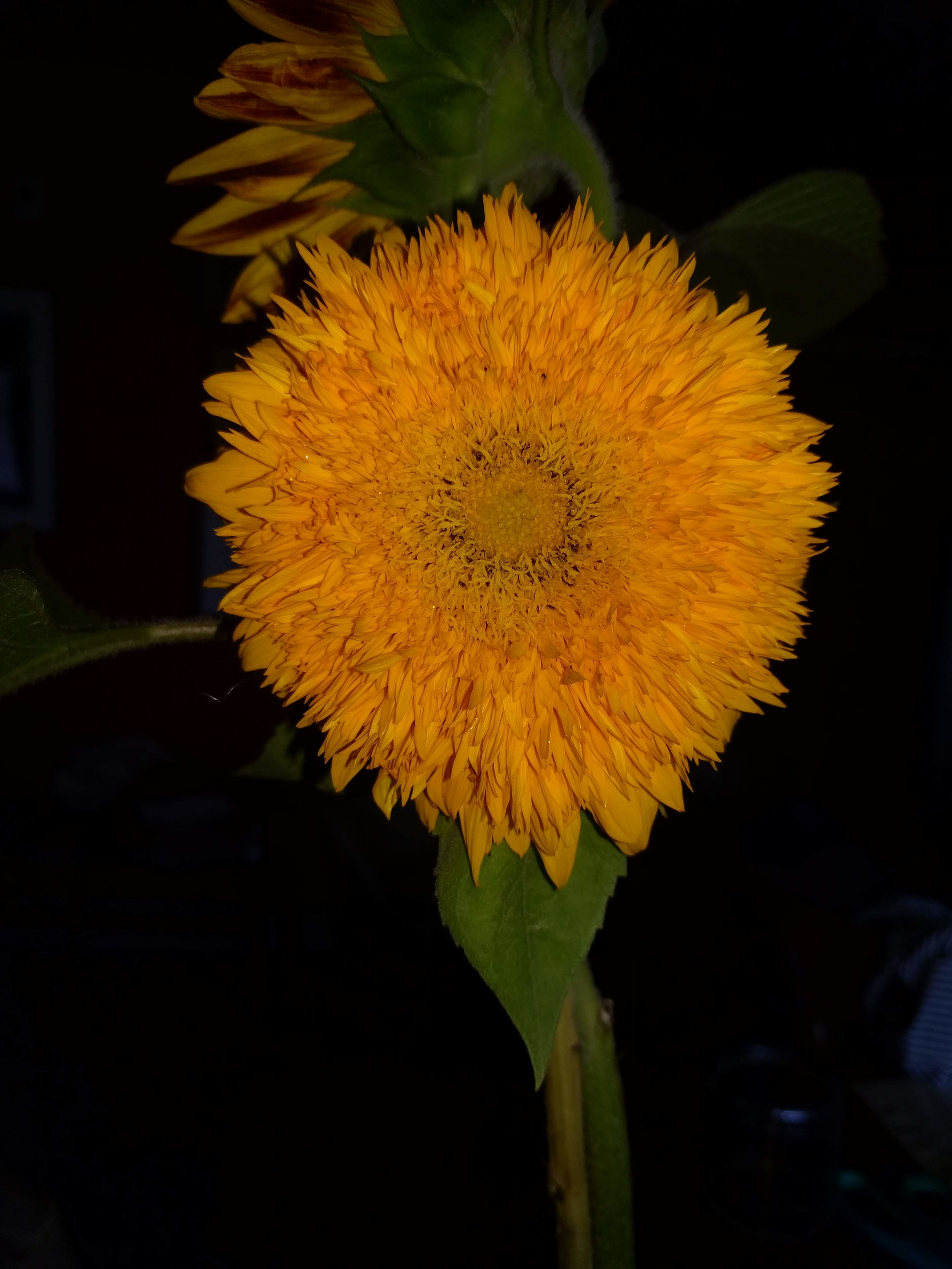 My favorite sunflower, Teddy Bear. All of my favorite flowers have a dense petal pack.