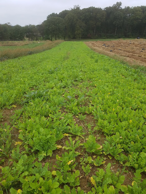 A block of our cover crops looking bright and cheery