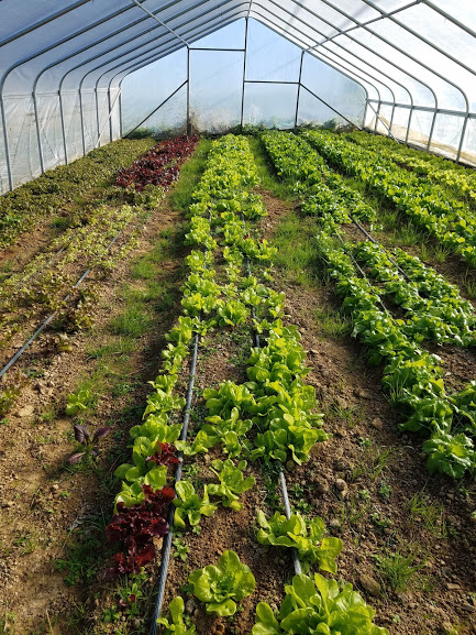 Greens growing in the high tunnels, cozy and sound