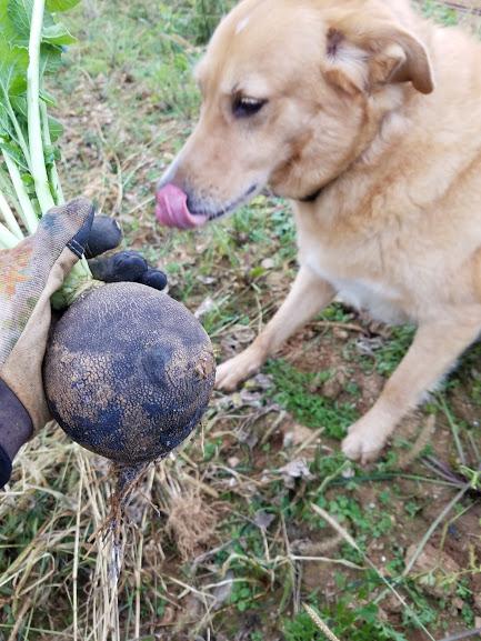 Paco admires a winter radish