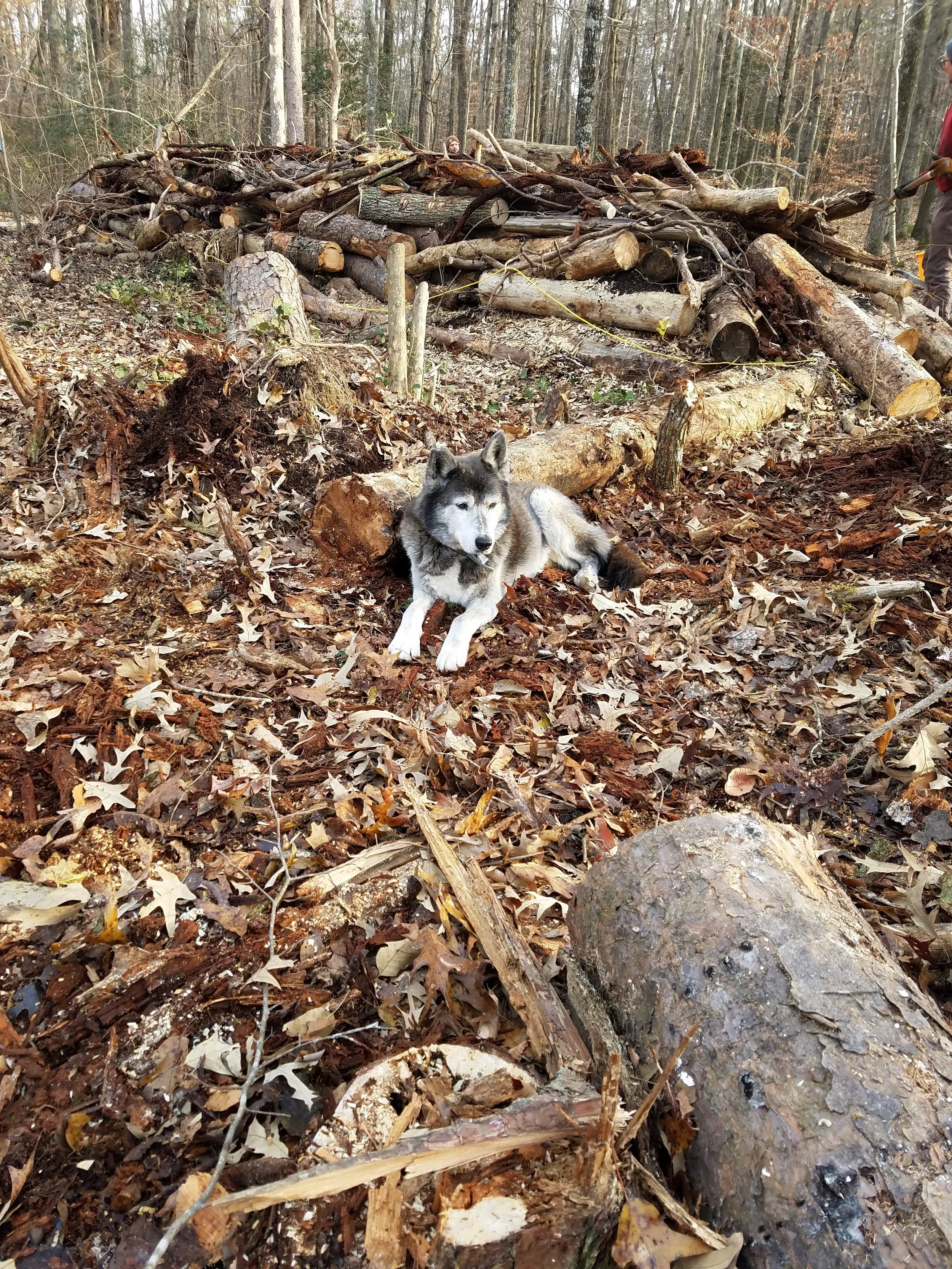 Melvin supervised while we built a hugelkultur mound at our friend's family's property in Southern Maryland yesterday.